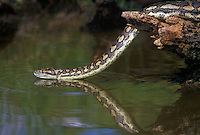 458034005 a captive carpet python moreilia spilotes variegata crawls along a small pond - reptile is a captive animal