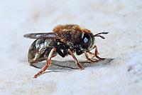 Ameisen-Schwebfliege, Ameisenschwebfliege, Microdon spec., Hoverfly