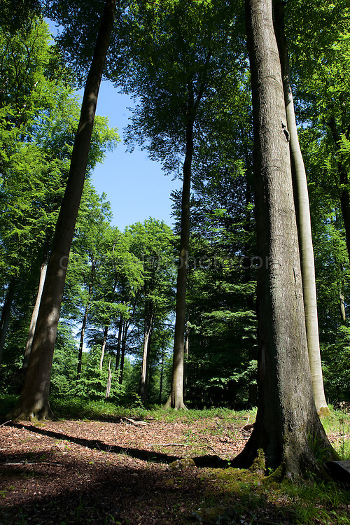 "The Sonian Forest, Foret de Soignes, or Zoniënwoud, an 11,000 hectare woodland to the southeast of Brussels, providing a ""green lung"" for the polluted, traffic choked city. The forest is currently in three jurisdictions, Brussels, Flanders and Wallonia, but EU involvement in 2013 will see development of plans to re-unify the forest, for the benefit of humans and wildlife."