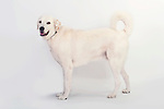 Akbash Dog, Standing, Studio, White Background