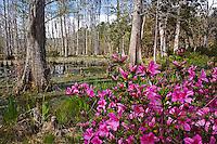 Azalea blooming along edge of cypress swamp, Cypress Gardens, near Charleston, South Carolina