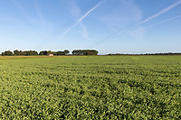27.5.2020 Peas growing in Lincolnshire <br /> ©Tim Scrivener Photographer 07850 303986<br />      ....Covering Agriculture In The UK.