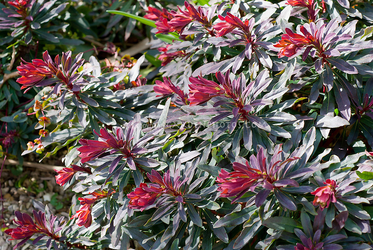 Euphorbia x martinii 'Blackbird'