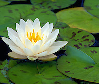 Water lily floating on pond