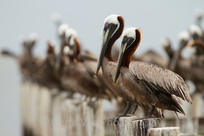 Adult Brown Pelicans (Pelecanus occidentalis) on pilings. Baldwin County, Alabama. June.