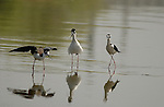 Black-necked Stilts Los Angeles River Southern California