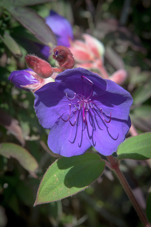Tibouchina urvilleana, late September. Also known as the Glory Bush, a Brazilian evergreen shrub to 4m or more, with elliptic, softly hairy leaves and rich violet-purple flowers.