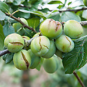 Plums with badly split skin, usually caused by irregular watering, particularly when a drought followed by sudden rainfall causes the fruit to expand quickly. The cracks in the skin usually cause the fruit to rot.