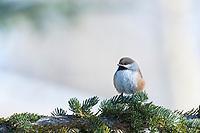Boreal chickadee perched on the bow of a spruce tree, Arctic, Alaska