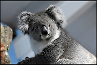 BNPS.co.uk (01202 558833)<br /> Pic: Longleat/BNPS<br /> <br /> G'day - The five koalas settle in to their quarantine enclosure at Longleat last night.<br /> <br /> One of Australia's most iconic but increasingly threatened species has received a boost as a group of koalas have arrived in Britain to start a new European breeding group.<br /> <br /> The five southern koalas, four females and one male, are part of a ground-breaking initiative to start a new breeding programme for Europe, a sort of back-up population away from the threats the species face in their home country, such as bushfires and disease.<br /> <br /> The cuddly marsupials made the epic journey from Adelaide in Australia to Longleat in Wiltshire, which will be the only place in Europe visitors can see the bigger of the country's two subspecies.<br /> <br /> Longleat has created a special new enclosure for them, including developing a 4,000-tree eucalyptus plantation to keep the koalas well-fed.<br /> <br /> Both the South Australian Government and Cleland Wildlife Park have very strict rules on allowing the animals out of the country.