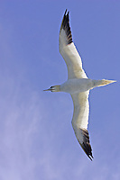 Ventral view of Northern Gannet Morus bassanus or Sula bassana against blue sky