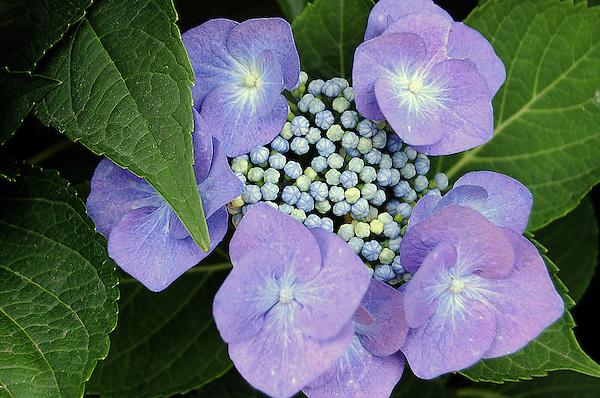 Purple Hydrangea Blossom