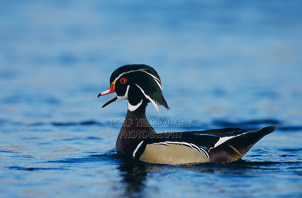 Wood Duck, Aix sponsa,male calling, New Braunfels, Texas, USA, March 2001