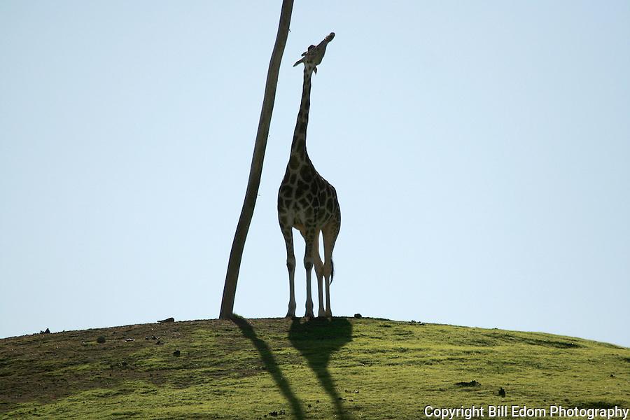 A Giraffe standing next to a pole.