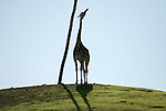 A Giraffe standing next to a pole.