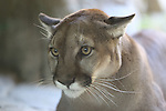 cougar in Palm Desert,  Living Desert, captive cougar in Nov.