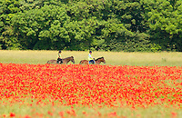 Horse riders riding past a fiel of poppies, Yorkshire....Copyright..John Eveson, Dinkling Green Farm, Whitewell, Clitheroe, Lancashire. BB7 3BN.01995 61280. 07973 482705.j.r.eveson@btinternet.com.www.johneveson.com