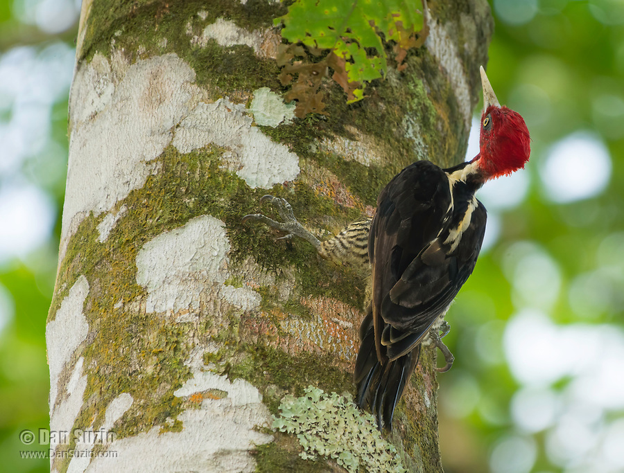 Pale-billed Woodpecker, Campephilus guatemalensis, perched on a tree trunk at La Selva Biological Station, Costa Rica