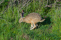 Black-tailed jackrabbit (Lepus californicus) hopping along.  Western U.S.
