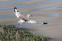 A Willet takes flight and displays wings with distinctive black and white designs at the Hayward Marsh.