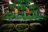 Cuba, March 1992: Tobacco leaves being sewn together to be hung on each side of the 'cujes' in the Casa de Tobaco, to dry and ferment.