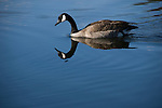 Canadian goose, Branta Canadensis, moving accross water's surface, creating sharp reflection
