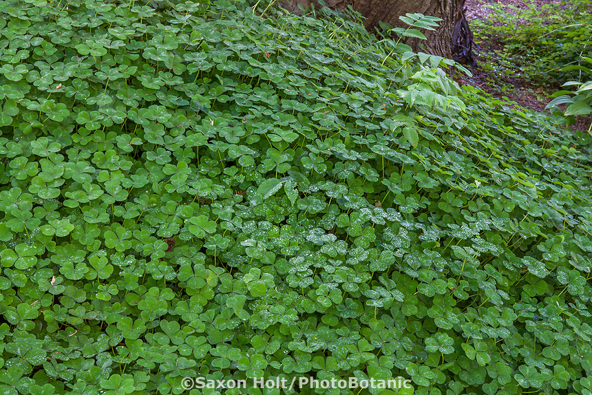Oxalis oregana (redwood sorrel, Oregon oxalis) in Shorts Ground Cover Garden at Bellevue Botanical Garden
