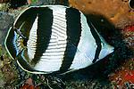 Chaetodon striatus, Banded butterflyfish, Florida Keys