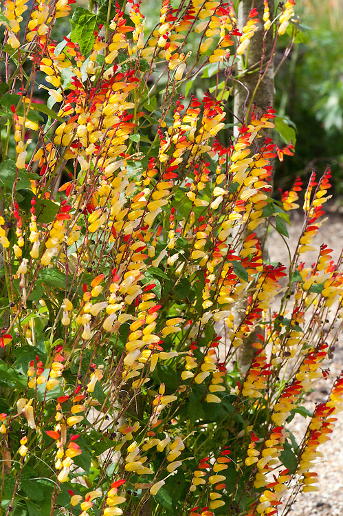 Spanish flag (Ipomea lobata syn. Mina lobata), a yellow and red perennial climber, late August.
