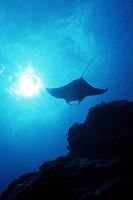 reef manta ray silhouette, Manta alfredi, Goofnuw Channel, Yap, Micronesia, Pacific Ocean