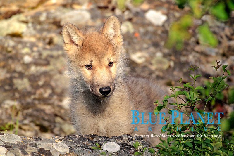 Gray Wolf (Canis lupus), pup, eight weeks, portrait, Montana, USA, North America