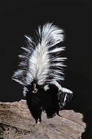 678800005 a wild hooded skunk mephitis macroura milleri assumes a threat posture during its nocturnal feeding in the mountains of southern arizona