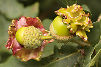 Knopper gall (Andricus quercuscalicis) on oak. Surrey, UK.