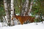 Tiger in snow. (captive)