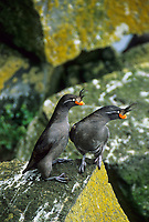 Crested Auklets courting, St. Paul Island, Pribilof Islands, Alaska.