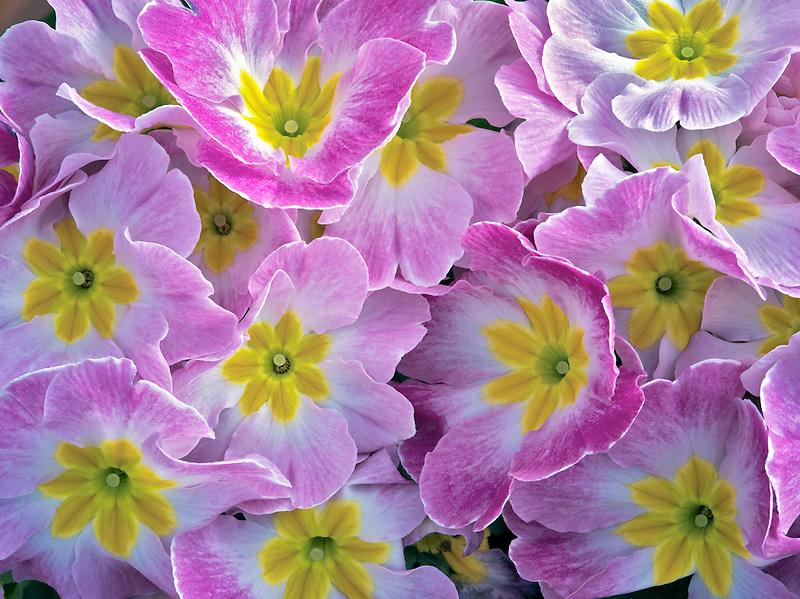 Close up of purple and yellow Primrose.