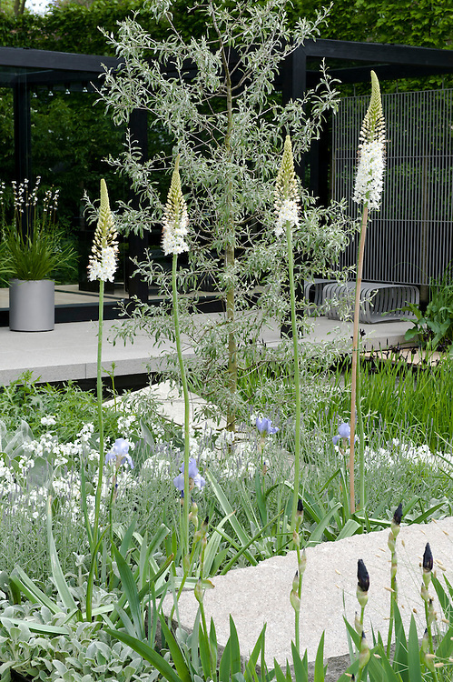 Daily Telegraph Garden, designed by Ulf Nordfjell, RHS Chelsea Flower Show 2009. Eremurus 'Joanna' (Foxtail lily) and Pyrus salicifolia 'Pendula' (Pendulous willow-leaved pear).