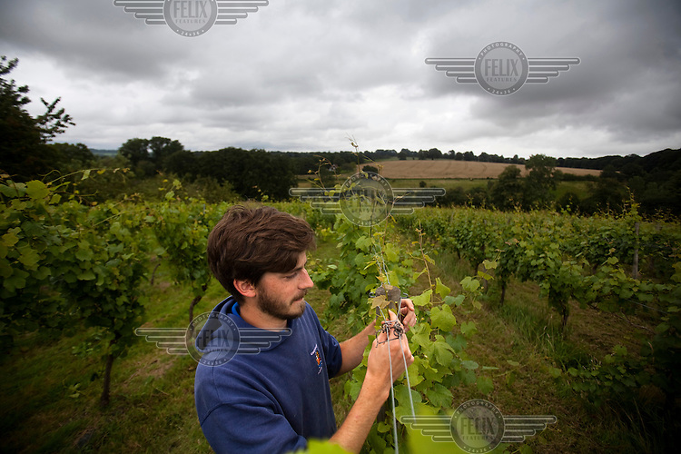 A worker tends the vines at a'Beckett's Vineyard, in Littleton Panell, Wiltshire.