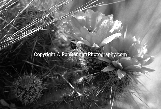 Hedgehog cactus flower,Arizona, State of Arizona, Southwest, desert, 48th State, Last of contiguous states, Phoenix, Scottsdale, Grand Canyon, Indian reservations, four corners, desert landscape, exrophyte, western United States, Southwest, Mountains, plateaus, ponderosa pines, Colorado River,  Mountain lion, Navajo Nation, No daylight savings time, Arizona Territory, Arizona, AR, Fine Art Photography by Ron Bennett, Fine Art, Fine Art photography, Art Photography, Copyright RonBennettPhotography.com ©