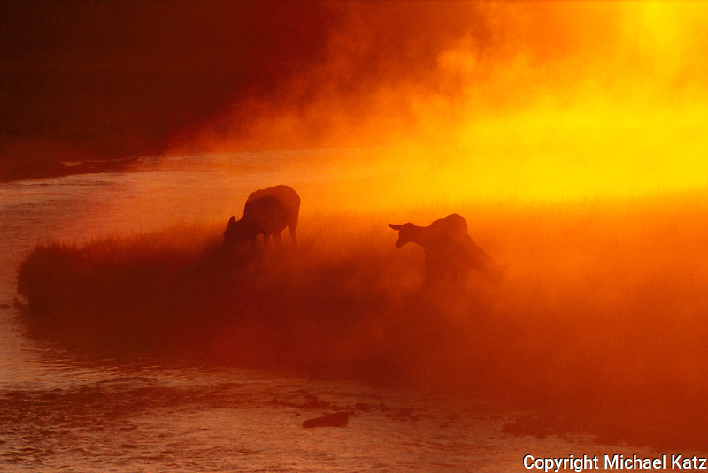 Elk at Sunrise, Junction Pool, Yellowstone