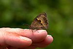 Meadow Brown Butterfly, Maniola jurtina, The Larches, Kent Wildlife Trust, UK, resting on finger, underside of wings, woodland