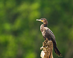 A juvenile or immature Neotropic Cormorant or Olivaceous Cormorant, Phalacrocorax brasilianus, perched on a tree stump on the Tarcoles River in Costa Rica.