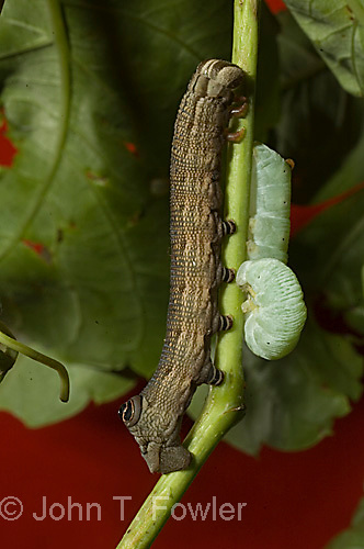 Larvae of Pandorus Spinx moth