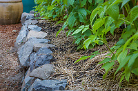 raspberries growing in straw mulched organic garden raised bed edged with stone filled, with fresh compost