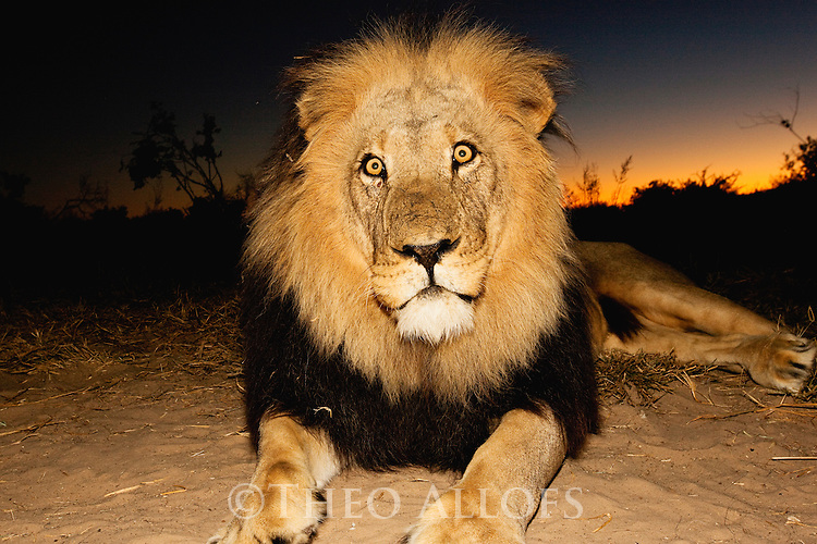 Botswana, Kalahari, private game reserve, male lion at dusk, portrait, captive
