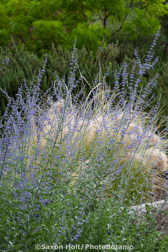 Perovskia atriplicifolia, Russian sage blue flowering perennial  in drought tolerant garden