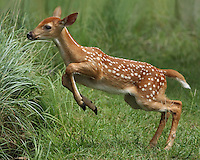Whitetail Fawn during the first week of Summer.