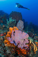 QW41524-D. Scuba diver (model relelased) swims above invertebrate growth, including Pink Vase Sponge (Niphates digitalis), Orange Elephant Ear Sponge (Agelas clathrodes), Brown Tube Sponge (Agelas conifera), Erect Rope Sponge (Amphimedon compressa), and Golden Crinoids (Davidaster rubiginosa). Dominica, Caribbean Sea.<br /> Photo Copyright &copy; Brandon Cole. All rights reserved worldwide.  www.brandoncole.com