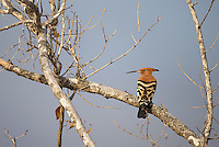 The Hoopoe is a nemesis species for me.  I'm still waiting to get a nice close photo of one with its crest raised.