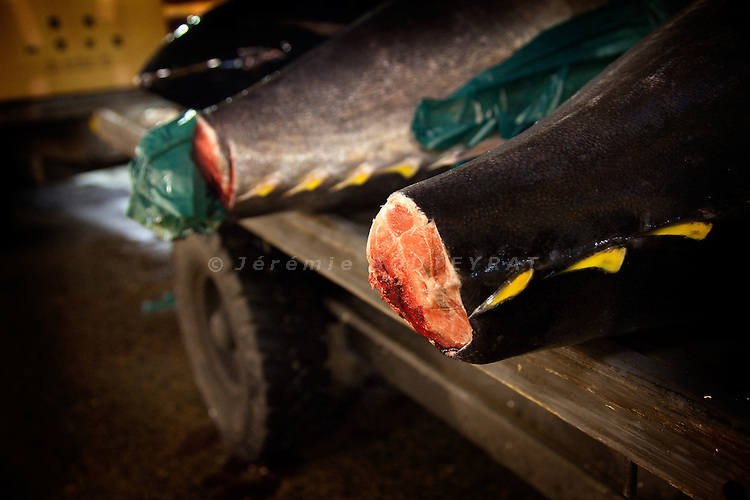 Tokyo, 1st of March 2010 - Tuna at Tsukiji wholesale fish market, biggest fish market in the world. 4:30 a.m, a fresh tuna fish was just sold to a wholesaler. Between 20 and 30 tons of fresh tuna are sold every day at Tsukiji. Fresh tunas come from the coasts of Japan and are the most expensive species. On January 6 2010, a 223kg tuna was sold 16M Yen (570 euros/kg).